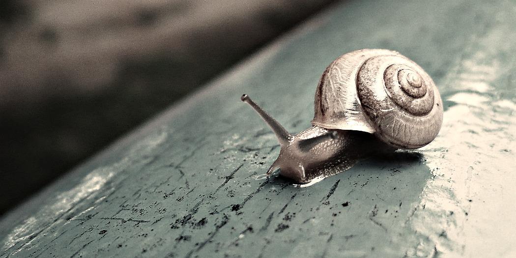 Oui, l'escargot de bourgogne est un NAC !